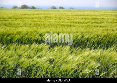 Field with green ears of corn near the sea on Bornholm, Denmark - Stock Photo