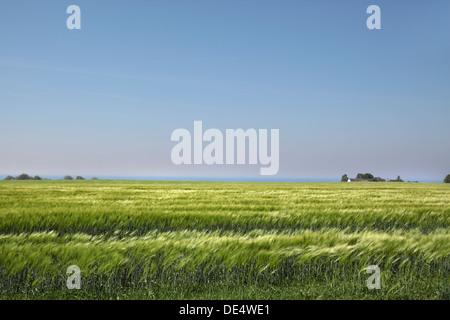 Field with green ears of corn near the sea on Bornholm, Denmark - Stock Photo