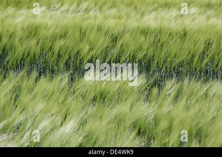 Field with green ears of corn on Bornholm, Denmark - Stock Photo