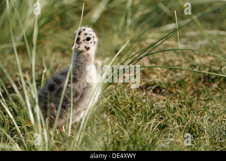 Common Gull or Mew Gull (Larus canus), chick or young bird, East Frisian Islands, East Frisia, Lower Saxony, Germany - Stock Photo