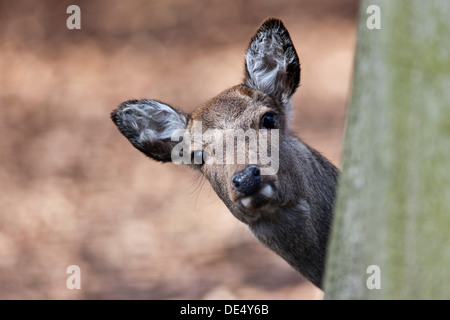 Sika Deer (Cervus nippon), looking from behind a tree, Hesse - Stock Photo