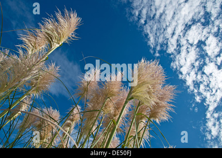 Pampas grass (Cortaderia selloana) against a blue sky with clouds, Auckland, New Zealand - Stock Photo