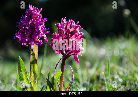 Dew drops on purple wild orchids at morning on the island Oland in Sweden. - Stock Photo