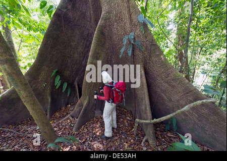 Hiker in front of the buttress roots of a Kapok or Silk-cotton Tree (Ceiba pentandra), Sirena, Corcovado National - Stock Photo