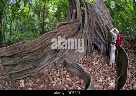 Female hiker at the buttress roots of a Strangler fig or Banyan Fig (Ficus subgenus Urostigma), Sirena, Corcovado - Stock Photo
