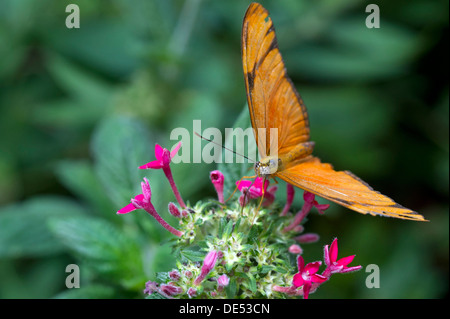 Julia Butterfly (Dyras iulia), Monteverde, Puntarenas Province, Costa Rica, Central America - Stock Photo