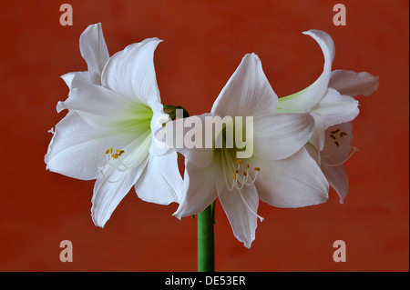 Flowering white Amaryllis (Hippeastrum) in a vase against an orange wall, Eckenhaid, Eckental, Middle Franconia, - Stock Photo