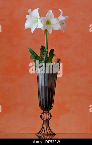 Flowering white Amaryllis (Hippeastrum) in a vase against an orange wall, Eckenhaid, Eckental, Middle Franconia, - Stock Photo