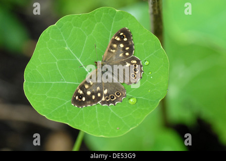 Speckled Wood Butterfly (Pararge aegeria) on Nasturtium leaf - Stock Photo