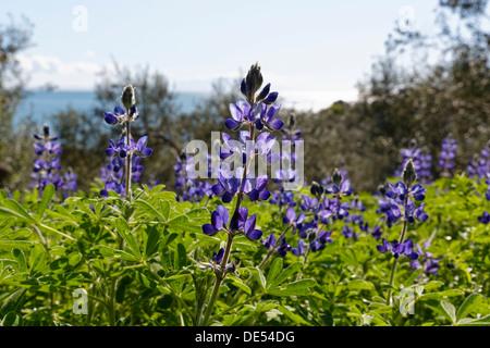 Blue Lupine or Narrow-leafed Lupine (Lupinus angustifolius), Troas, Ägäis, Marmara Region, Turkey - Stock Photo