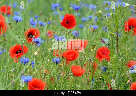 Grain field with flowering Poppies (Papaver rhoeas) and Cornflowers (Centaurea cyanus), Rennsteig, Blankenstein, - Stock Photo