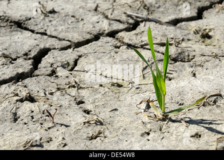 Wheat plant (Triticum spec.), on dry field, desiccation crack, symbolic image for growth amid adverse circumstances - Stock Photo