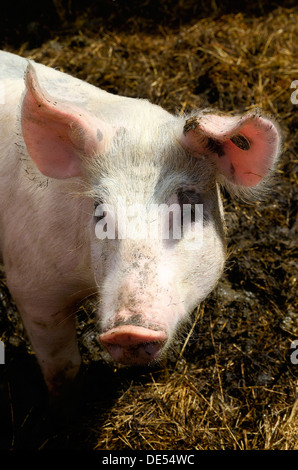 Domestic pig (Sus scrofa domestica), stabling with free-range area and straw bedding, organic farming, Schleswig - Stock Photo