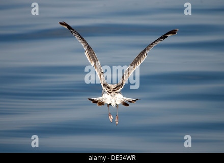 Immature European Herring Gull (Larus argentatus) taking off, Mueritz, Mecklenburg-Western Pomerania - Stock Photo