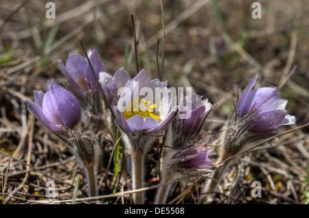 Pasque flowers (Pulsatilla patens) aka 'crocus' in the Colorado Rockies - Stock Photo