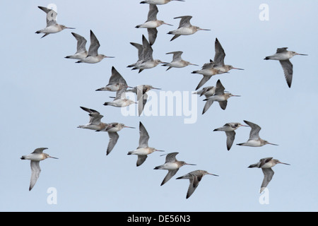 Bar-tailed Godwits (Limosa lapponica) during spring migration, in nonbreeding plumage, East Frisian Islands, East - Stock Photo