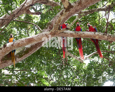 Scarlet Macaws (Ara macao) and a Blue-and-Yellow Macaw or Blue-and-Gold Macaw (Ara ararauna) perched on a tree