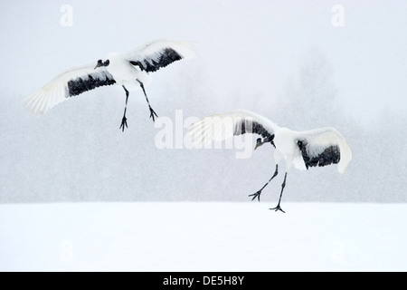 Japanese cranes landing on snow for courtship - Stock Photo