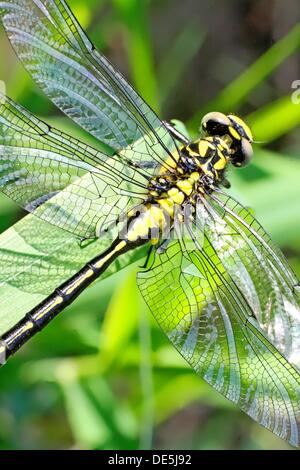 Emerging Common Clubtail, Gomphus vulgatissimus clings to marsh grass after emerging  eyes are still grey and not - Stock Photo