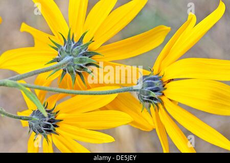 Jerusalem Artichoke, Helianthus tuberosus, Helianthus tomentosus, subcanescens, Asteraceae, Asterales, eudicot, - Stock Photo
