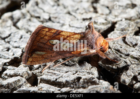 Gold spot moth, Plusia festucae UK - Stock Photo