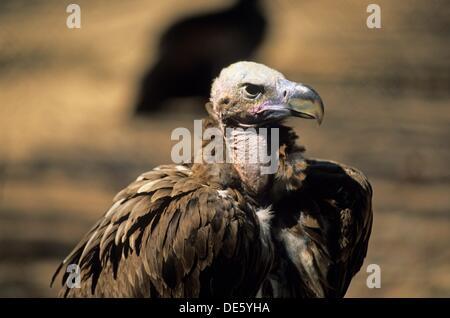 vulture, Hai-Bar Yotvata Reserve, Arava Valley, Negev, Israel, Middle East, Western Asia - Stock Photo