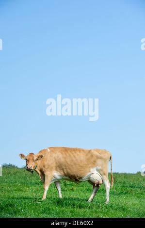Jersey dairy cows graze in a green field, Devon - Stock Photo