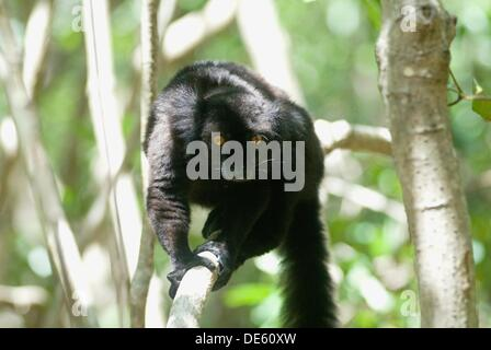 male Black lemur, Strict Nature Reserve of Lokobe, National Park, Nosy Be island, Republic of Madagascar, Indian - Stock Photo