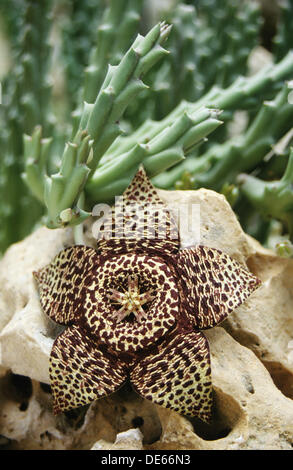Toad cactus , Orbea variegata - Stock Photo