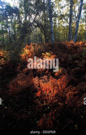 Fern, Bracken in autumn colours (Pteridium aquilinum) one of the commonest species of fern. - Stock Photo