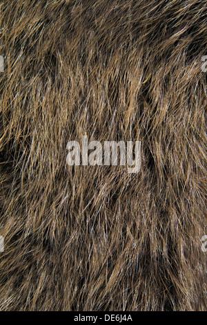 European beaver (Castor fiber) close up of brown fur - Stock Photo