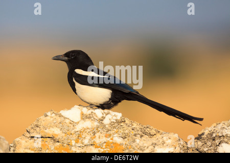 Common Magpie (Pica pica) perched on a top of a stone. Lleida. Catalonia. Spain. - Stock Photo