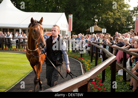 Racehorse in the parade ring on race night, the July racecourse, Newmarket Suffolk UK - Stock Photo