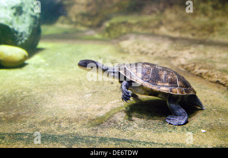 Roti Island Snake Necked Turtle, - Chelodina McCordi, from Roti Island, Indonesia - Stock Photo