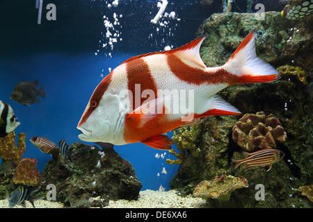red emperor (Lutjanus sebae) in aquarium - Stock Photo