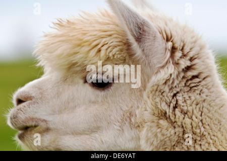 Close up of creamy, ivory fleece on white alpaca with dark eyes and thick, light eyelashes. - Stock Photo