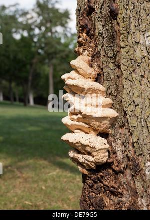 Bracket fungi, aka shelf fungi, growing on maple tree trunk (bracket fungus, shelf fungus) - USA - Stock Photo