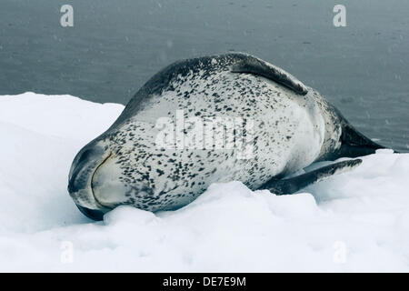 Leopard Seal resting on  ice in Antarctica - Stock Photo