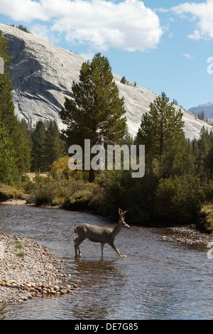 Wild Deer (buck) Crossing the Tuolumne river in Tuolumne Meadows, Yosemite National park California - Stock Photo