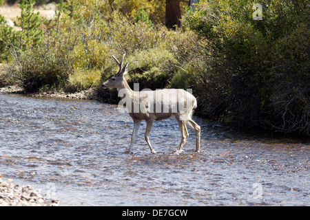 Wild Deer (buck) crosses the Tuolumne river in Tuolumne Meadows, Yosemite National park California - Stock Photo