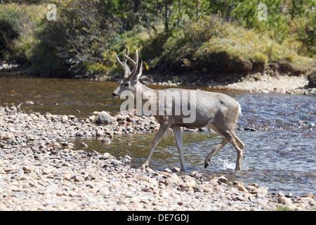 Wild Deer (buck) by the river in Tuolumne Meadows, Yosemite National park California - Stock Photo