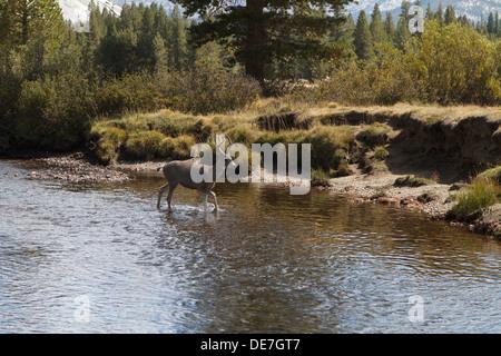 Wild Deer (buck) crosses the river in Tuolumne Meadows, Yosemite National park California - Stock Photo