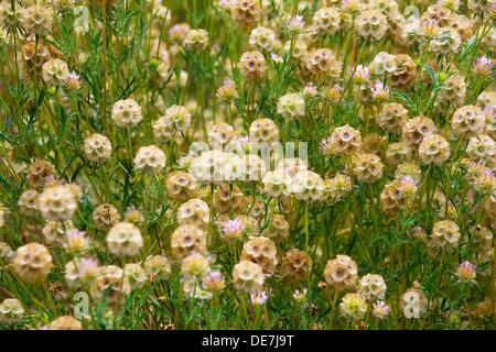 Scabiosa stellata, Starflower pincushions. Photo taken in Solsonès, Lleida, Spain, Europe - Stock Photo