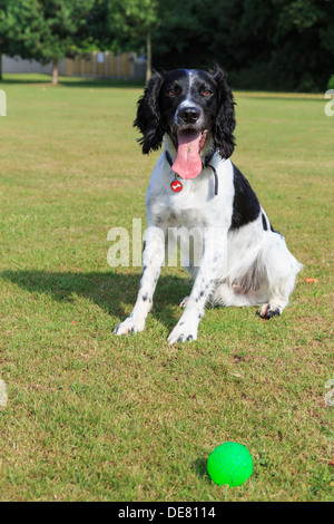 An adult purebred Black and White English Springer Spaniel dog sat in a park eager for someone to throw a ball. - Stock Photo