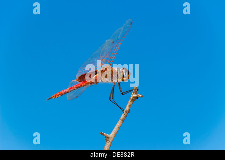 Side view of a Red Dragonfly perched on a branch against a blue sky background