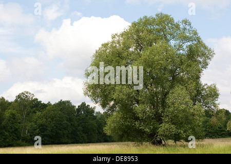 Crack Willow, Bruch-Weide, Bruchweide, Knack-Weide, Knackweide, Weide, Salix fragalis - Stock Photo