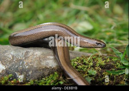 Female slow worm, Cumbria, UK (Anguis Fragilis) - Stock Photo