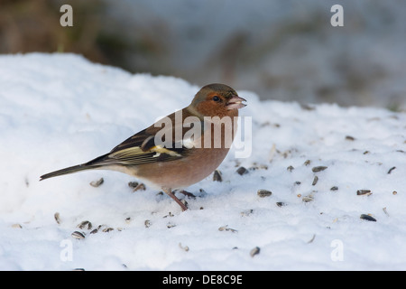 chaffinch, male, Buchfink, Buch-Fink, Männchen, Fringilla coelebs, Winter, Schnee, snow, feeding birds, Winterfütterung - Stock Photo