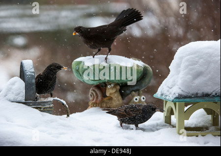 Starling (Sturnus vulgaris) and Eurasian Blackbird (Turdus merula) female at garden bird feeder during snow shower - Stock Photo