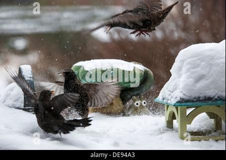 Starling (Sturnus vulgaris) fighting with blackbird (Turdus merula) at garden bird feeder during snow shower in - Stock Photo